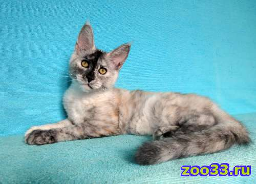 Кошечка мейн-кун из питомника - Фото 1