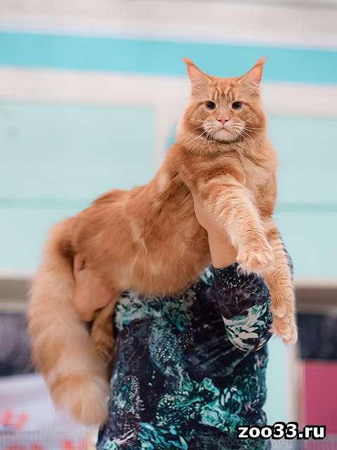 Кот мейн-кун приглашает на  вязку - Фото 1