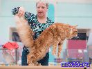 Кот мейн-кун приглашает на  вязку