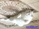 Пропала белая очень крупная кошка