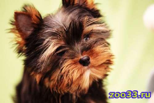 Великолепный щенок йорка - Фото 1