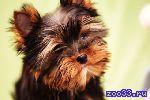 Великолепный щенок йорка