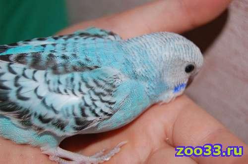 самочка волнистого попугая - Фото 1