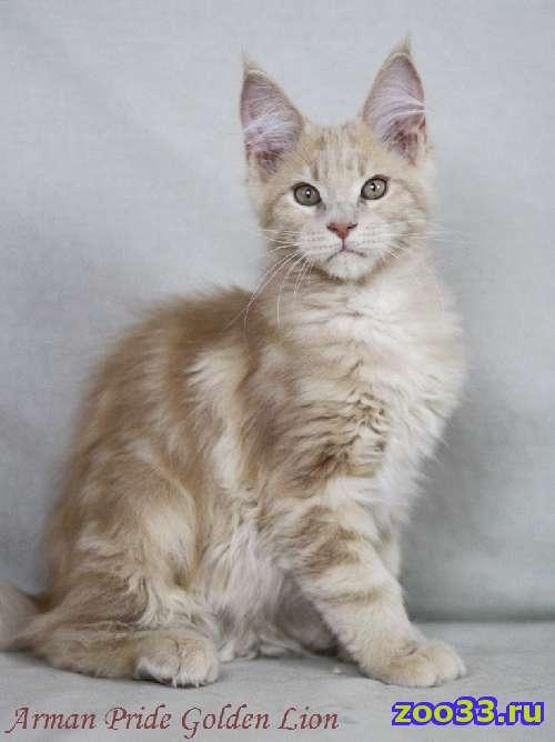 Кремовый котик мейн кун - Фото 1