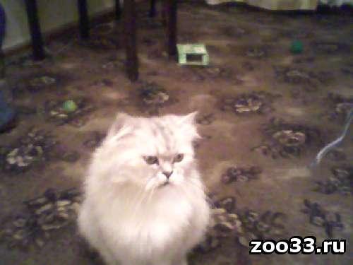 Пропал кот шиншилловый перс - Фото 1