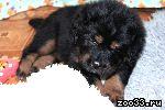 Шикарные щенки тибетского астифа