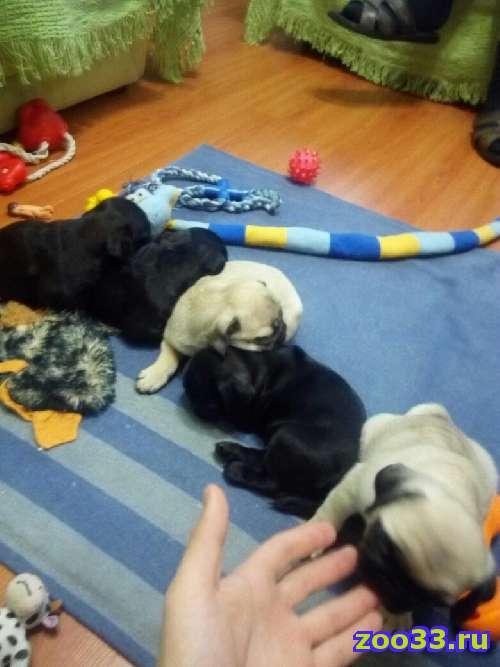 Продам щенокв мопса - Фото 1