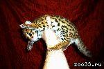 Азиатский Леопардовый Кот / Asian Leopard Cat_тел.8_987_956_06_80