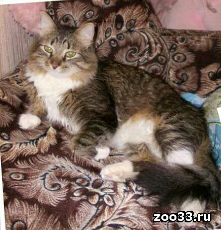 Пропал Любимый кот, г. Владимир, ул. Лакина - Фото 1