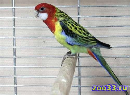 Продаю попугая розеллу - Фото 1