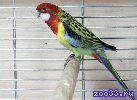 Продаю попугая розеллу