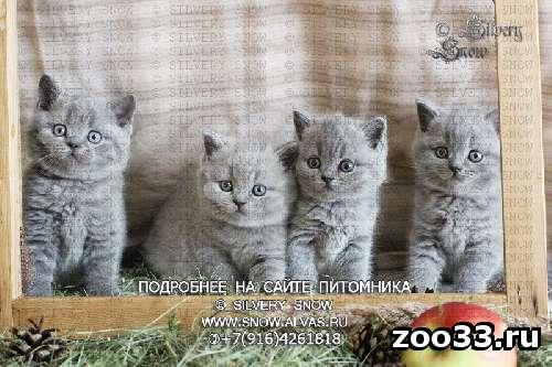 Британские голубые котята - Фото 1