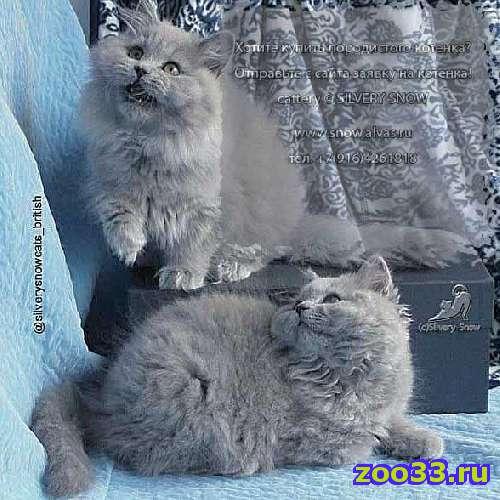 Длинношерстные британские котята - Фото 1
