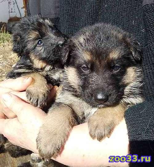 продаются щенки - Фото 1