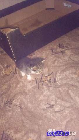 Котята Scottish Fold и Scottish straigh - Фото 1