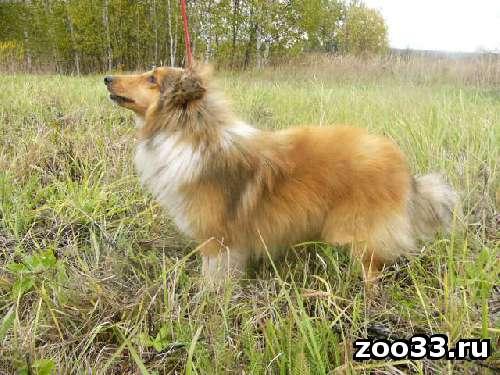 Подрощенный щенок шелти соболиного окраса - Фото 1
