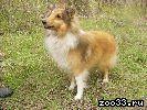 Подрощенный щенок шелти соболиного окраса