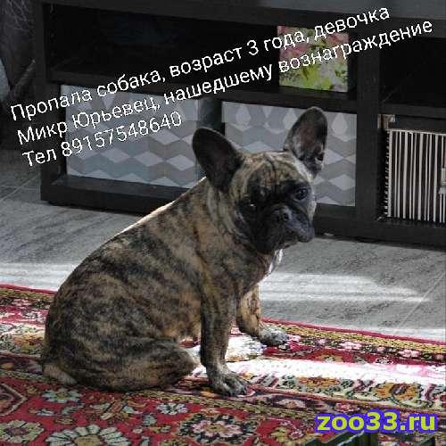 Пропала собака, девочка 3 года Микр Юрьевец - Фото 1